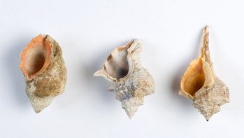 mollusks dye shellfish iron age