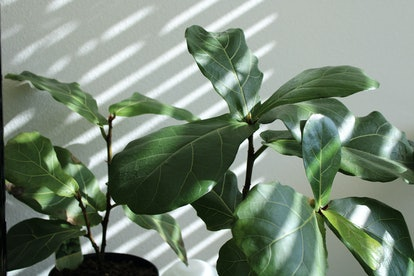 Fiddle Leaf Figs are perfect for Leos.