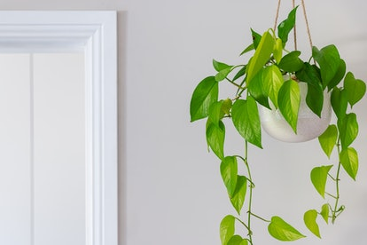 Geminis will get on with Golden Pothos plants.