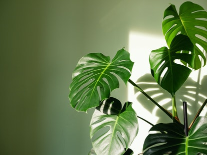 Aries should buy a Monstera Deliciosa for their home.