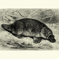Why do some mammals lay eggs? Strange platypus study explains