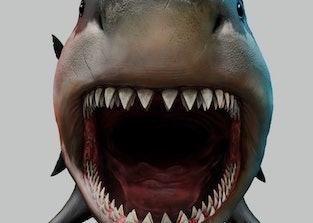 A giant Megalodon shark with teeth.