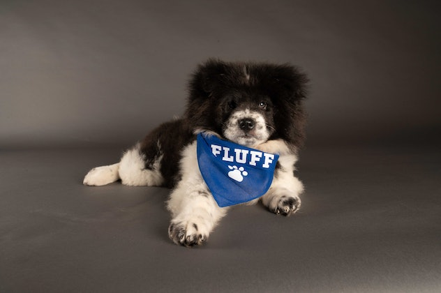 Chunky Monkey is playing for Team Fluff during the 2021 Puppy Bowl.