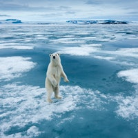 Scientists predict the year polar bears will disappear from this part of the world