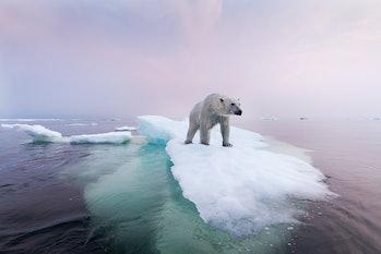 Polar bear floating on melting ice