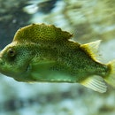 Some lumpfish are friendly, others not so much.