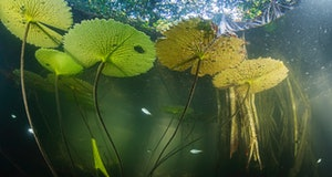 The aquatic life of the San Pedro Mártir River in Tabasco, Mexico, finds refuge in the submerged roo...