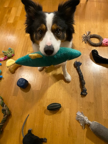 Border collie dog with toy in its mouth
