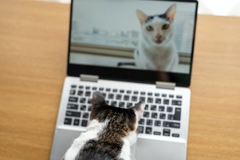 Cat looking at itself on computer webcam