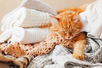 Cat sleeps in blankets