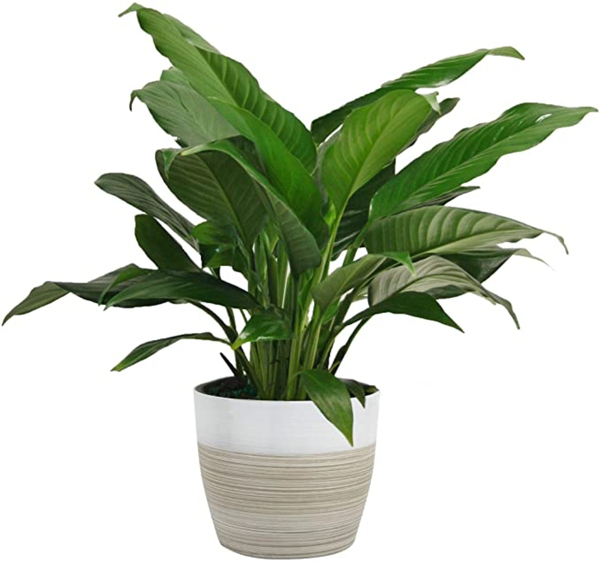 Costa Farms Spathiphyllum Peace Lily Live Indoor Plant (15-Inch)