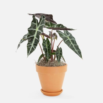 Alocasia Polly - Piccolo