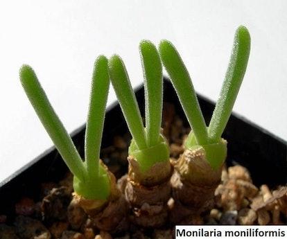 Monilaria Moniliformis