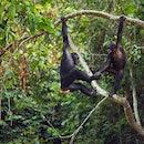 bonobos, swinging, trees