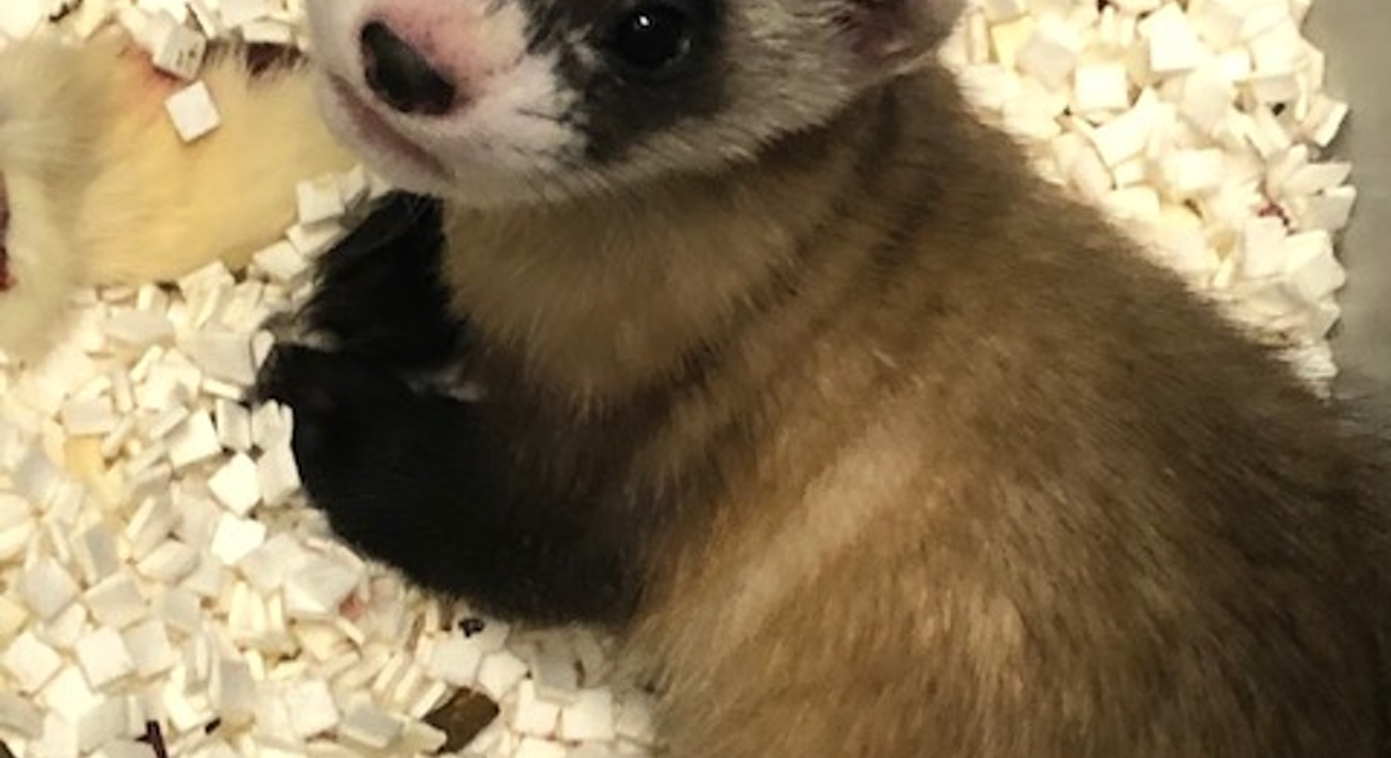 black-footed ferret first endangered clone