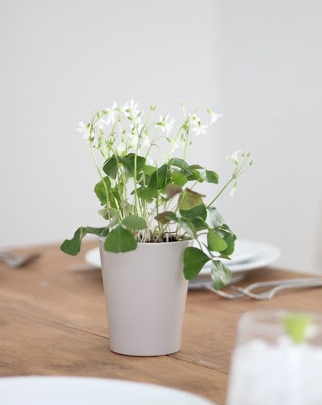 potted clover plants