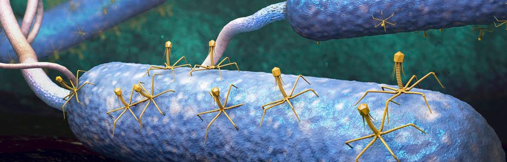 Bacteriophage (yellow) are viruses that infect and destroy bacteria (blue).