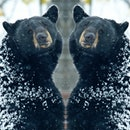 Black bear in mirror