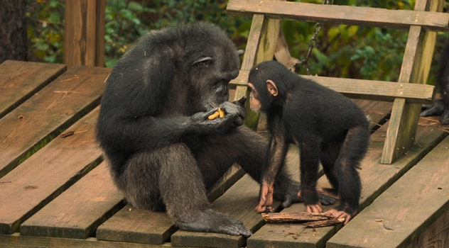 'Meet the Chimps' tells the story of some of the 300 residents of Chimp Haven.