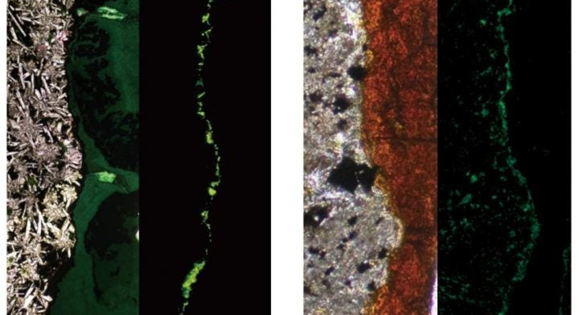 A colony of tiny microbial life that was found wedged in tunnels on volcanic rock samples.