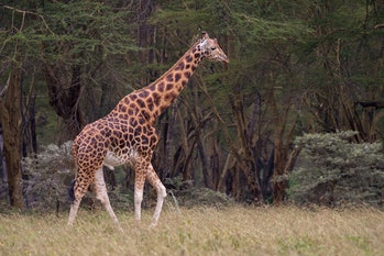 A male Rothschild's giraffe