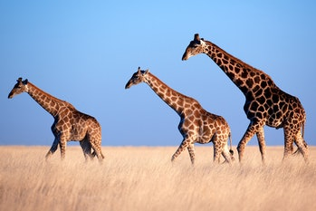 Three giraffes crossing a plain in Namibia