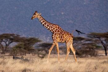 Reticulated male giraffe