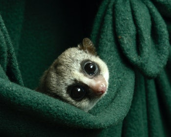 Small lemur in blanket