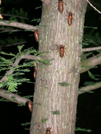 cicada brood x tree