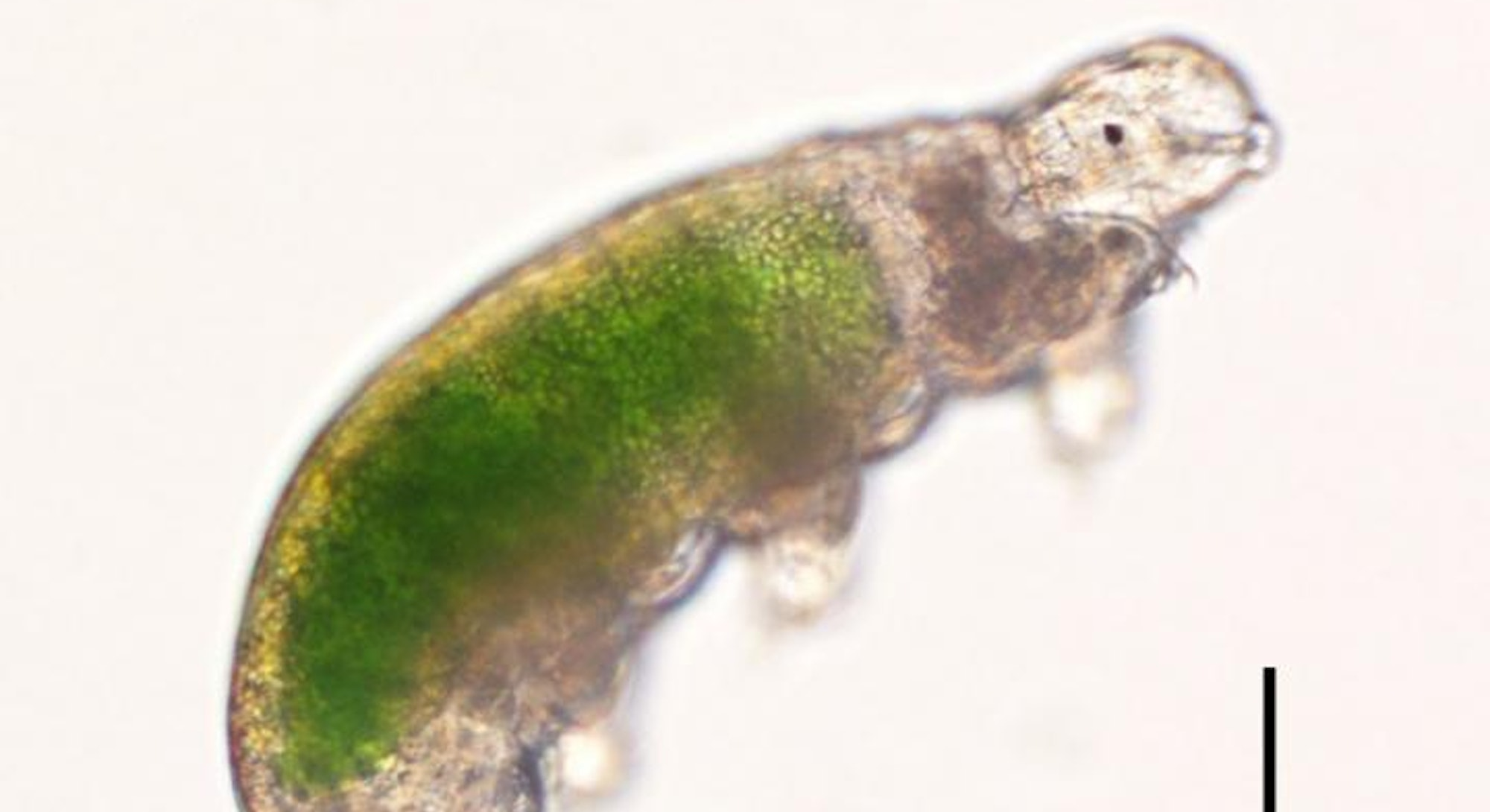 This is Acutuncus antarcticus, an individual of the strain of one of the Antarctic tardigrades revived, SB-3, showing chlorella inside its stomach. Scale bar, 0.1 mm.
