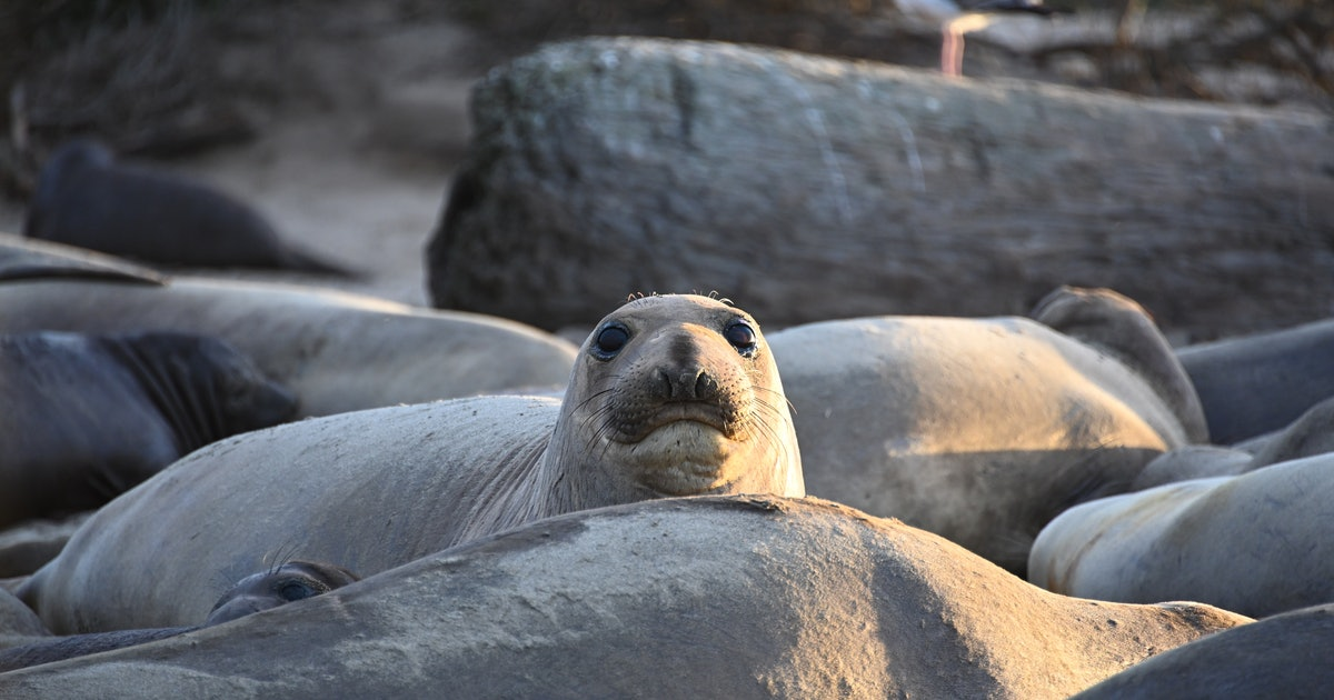 To survive, tired elephant seals hide in a different way than their tick brothers.