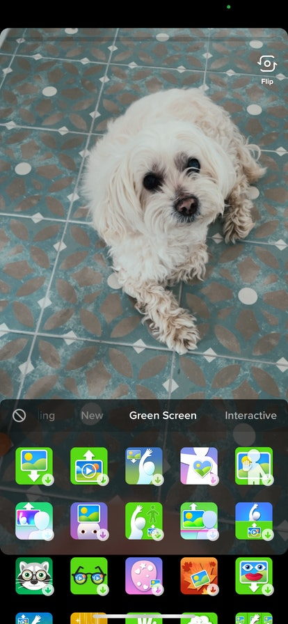 Dog posing for Green Screen effect on TikTok.