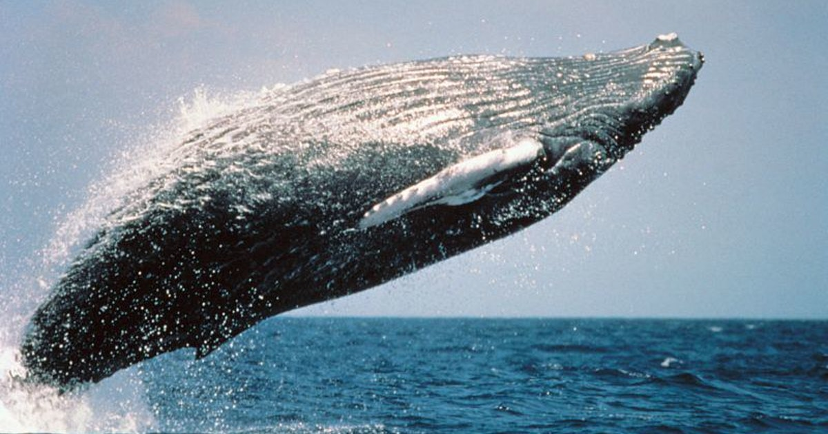 4 ocean animals bouncing back from the brink of extinction