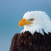 Scientists discover the mysterious cause of mass bald eagle deaths