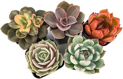Succulent Cult Plants (5-Pack)