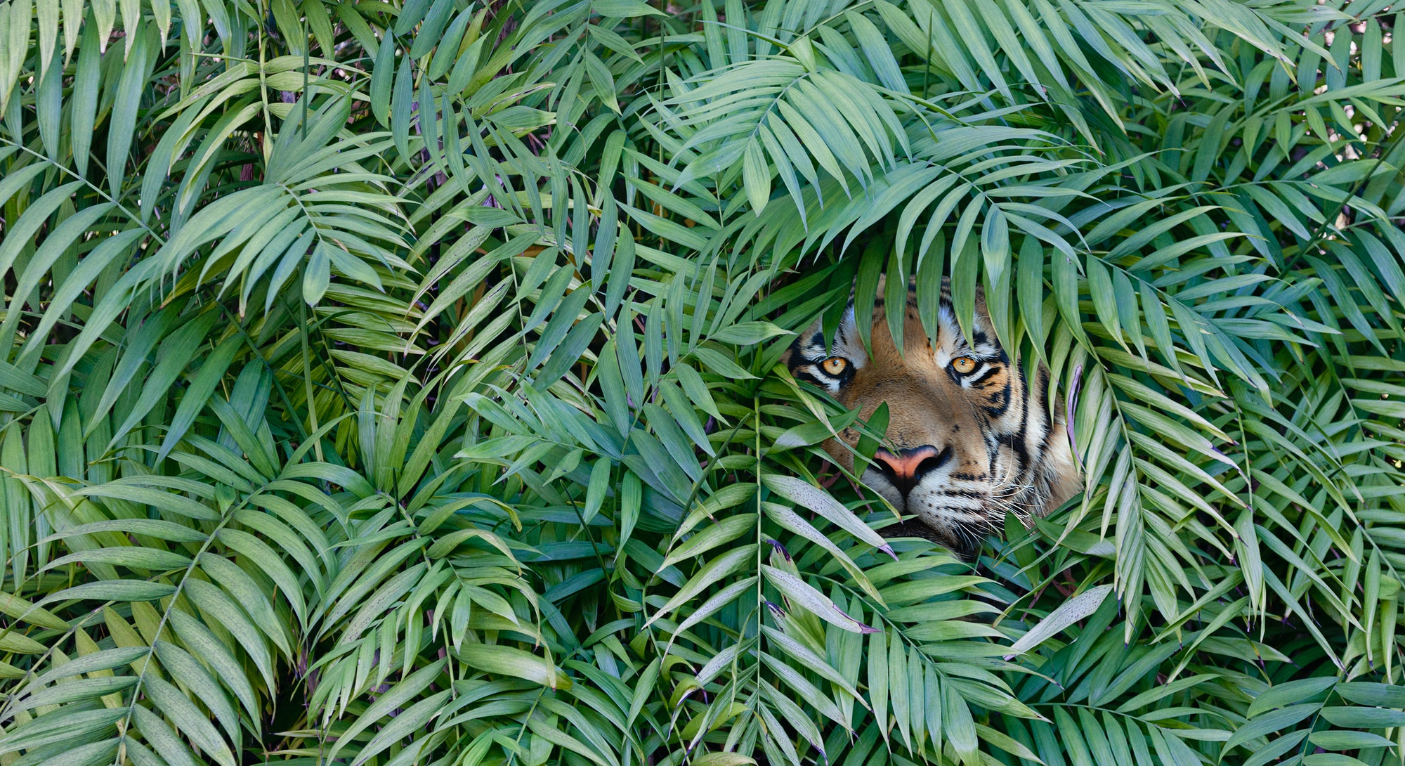 Tiger hiding in forest