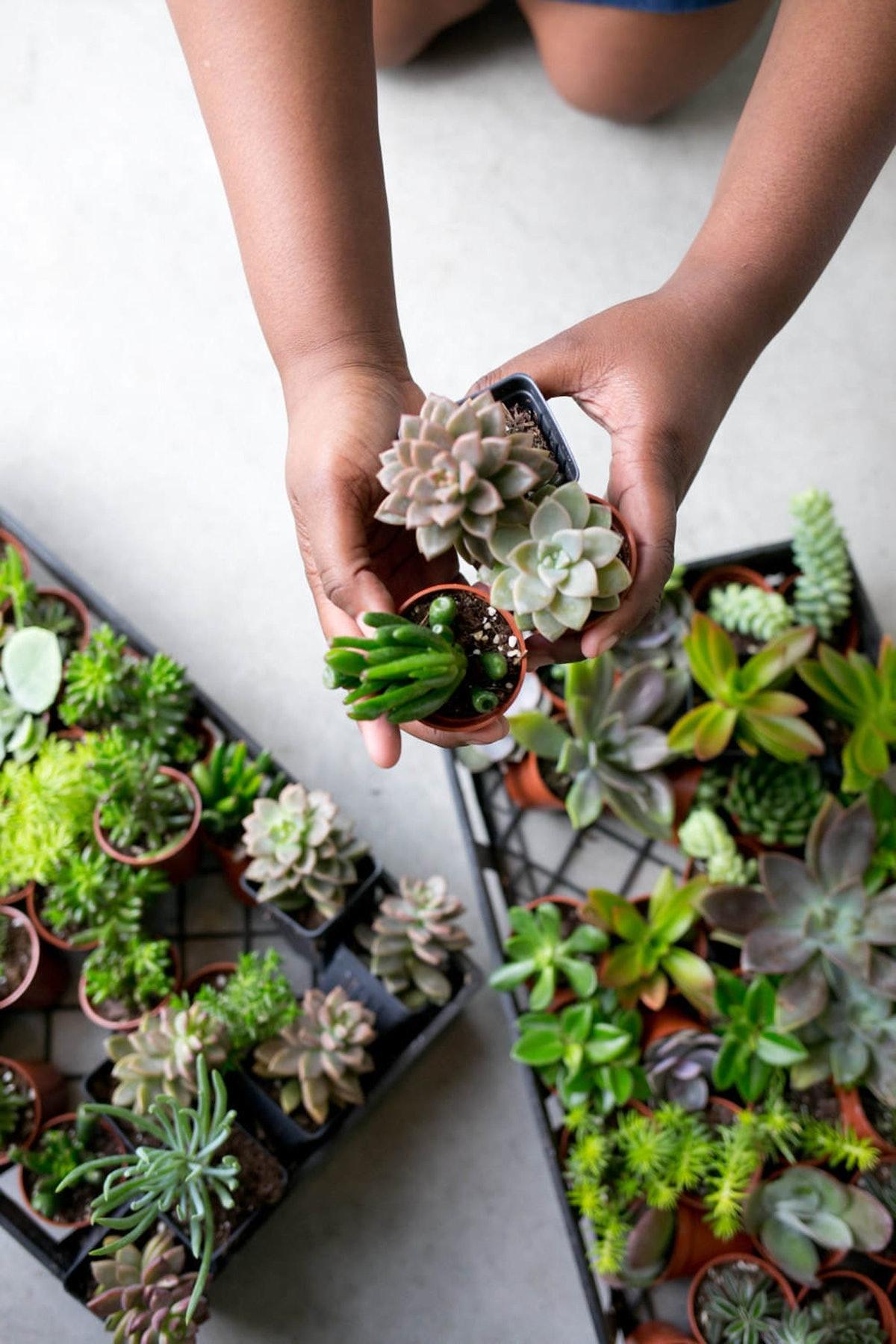 Succulent Starter Plants