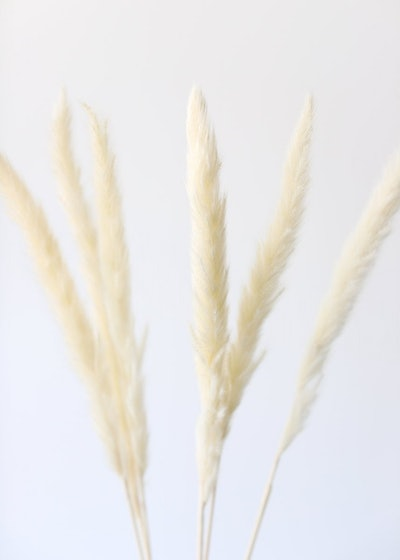 Pack of 6 - Smooth White Natural Pampas Grass - 25-29.5""