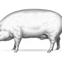 Scientists grow human muscles in pig embryos for the first time
