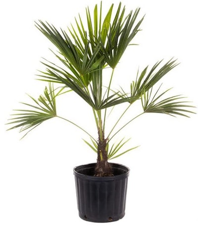 American Plant Exchange Windmill Palm Tree