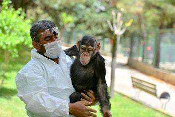 Chimpanzee with caretaker