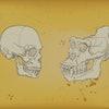 Human skull, gorilla skull