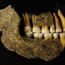 A set of Neanderthal teeth.