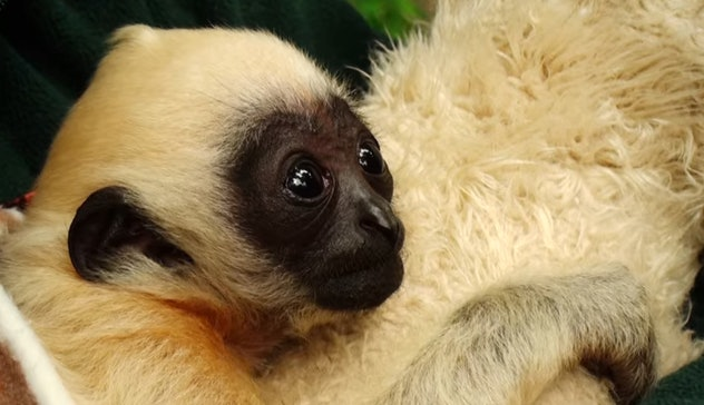 White-cheeked gibbons are just one of the 72 adorable animals featured in this show.