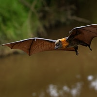 Scientists are unraveling a fruit bat mystery