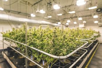 Cannabis growing under indoor lights