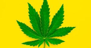 Marijuana leaf, cannabis, weed