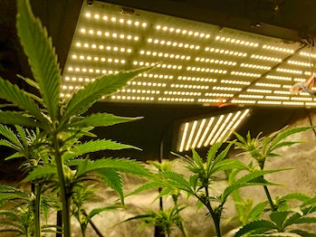 Cannabis growing under LED lights