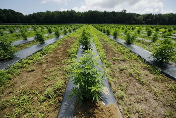 Outdoors cannabis farm