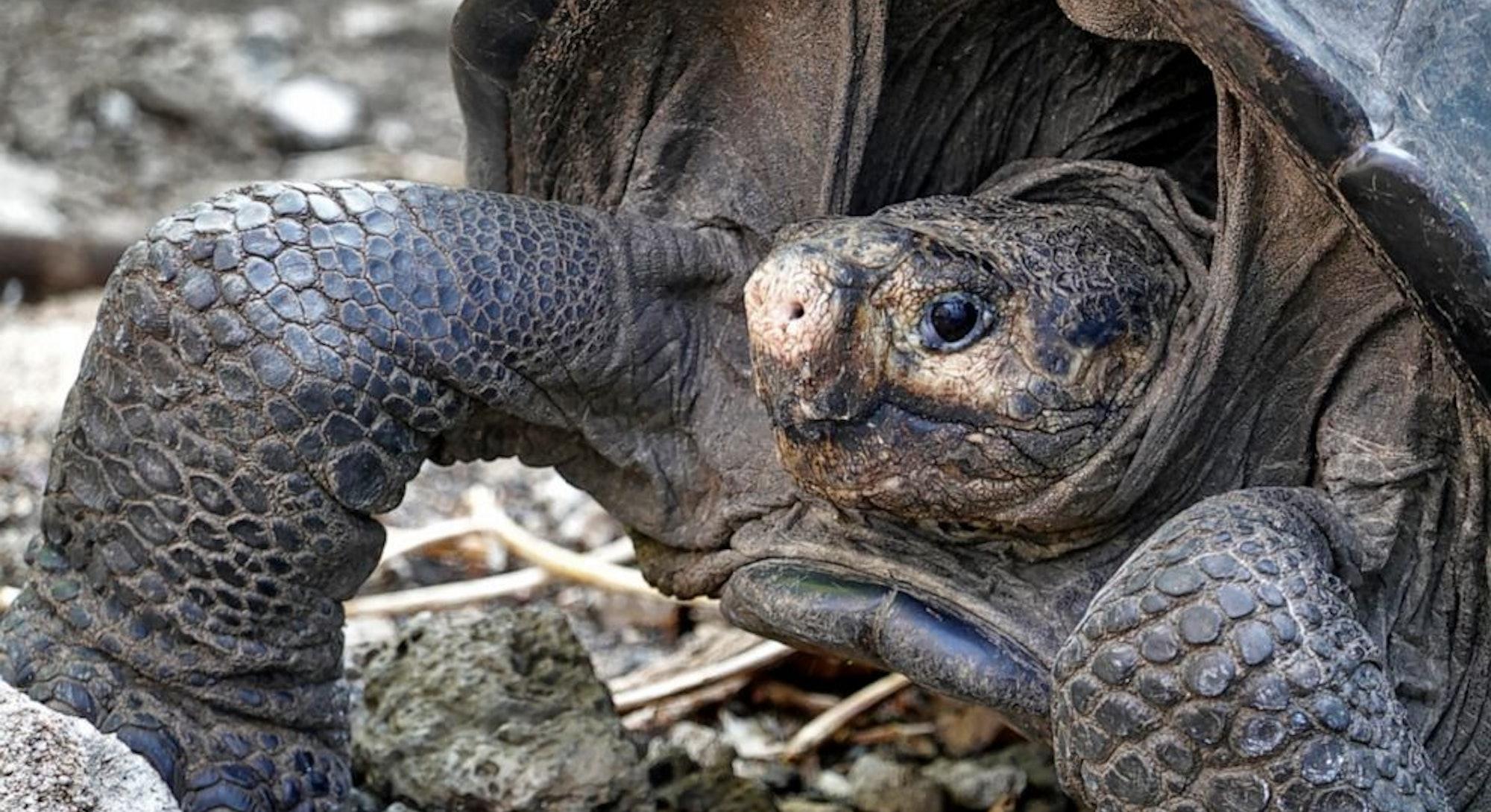 Fernandina giant tortoise